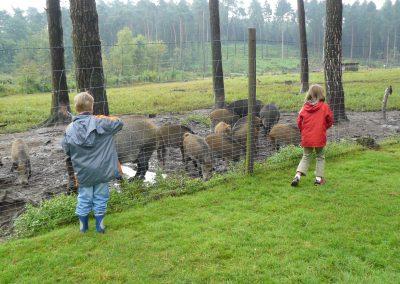 Wildschweine1